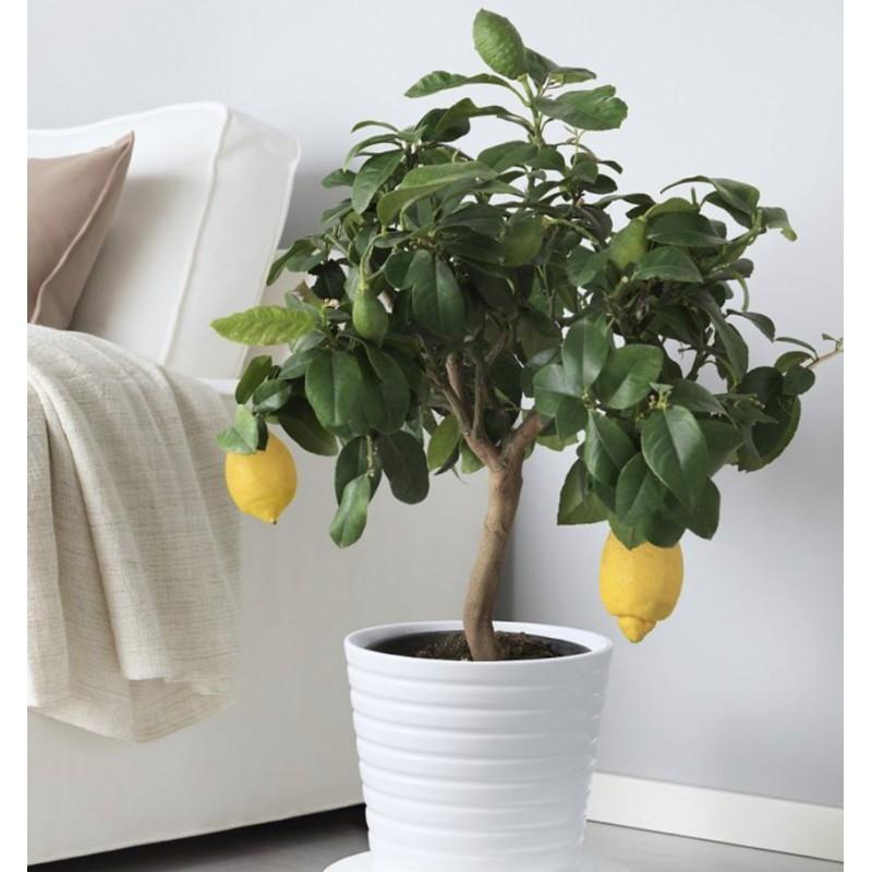 Лимонное дерево в керамическом кашпо