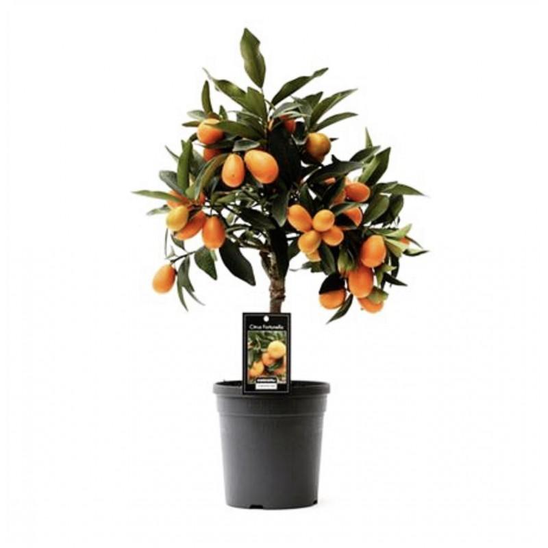 Кумкват с плодами высота 65 см