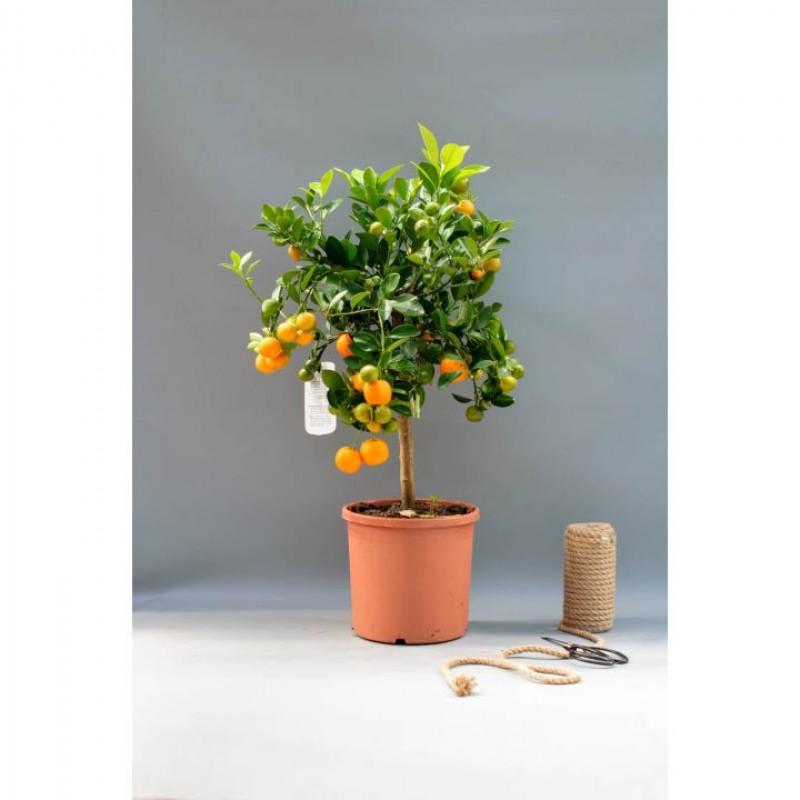 Мандариновое дерево 45-50 см.