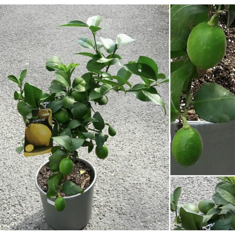 Лимонное дерево 80 см