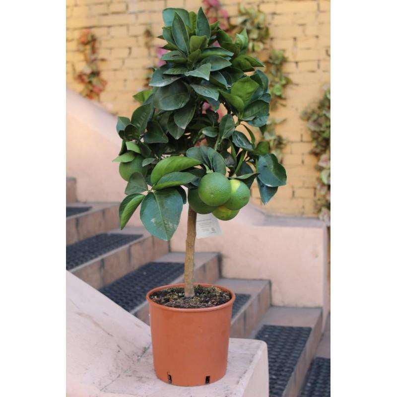 Апельсиновое дерево высота 80 см