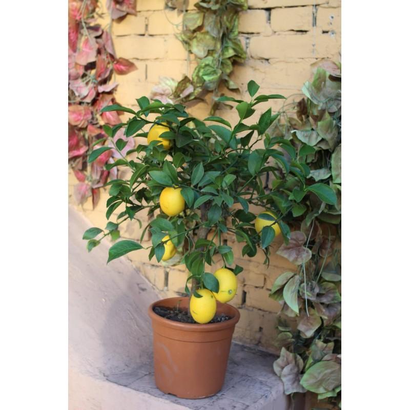 Лимон в горшке высота 65 см