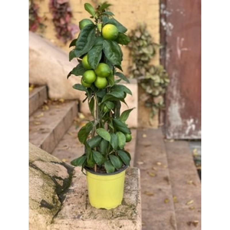 Лимонная Елка