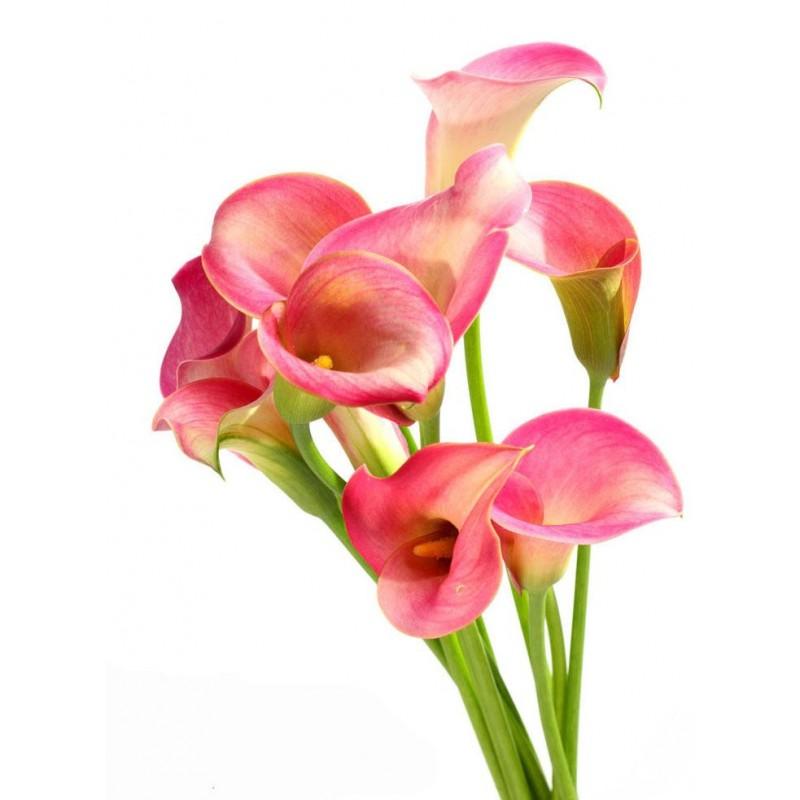 Розовые каллы поштучно от 9 штук