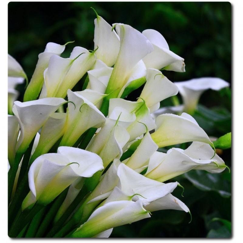 Белые каллы высотой 80-90 см.