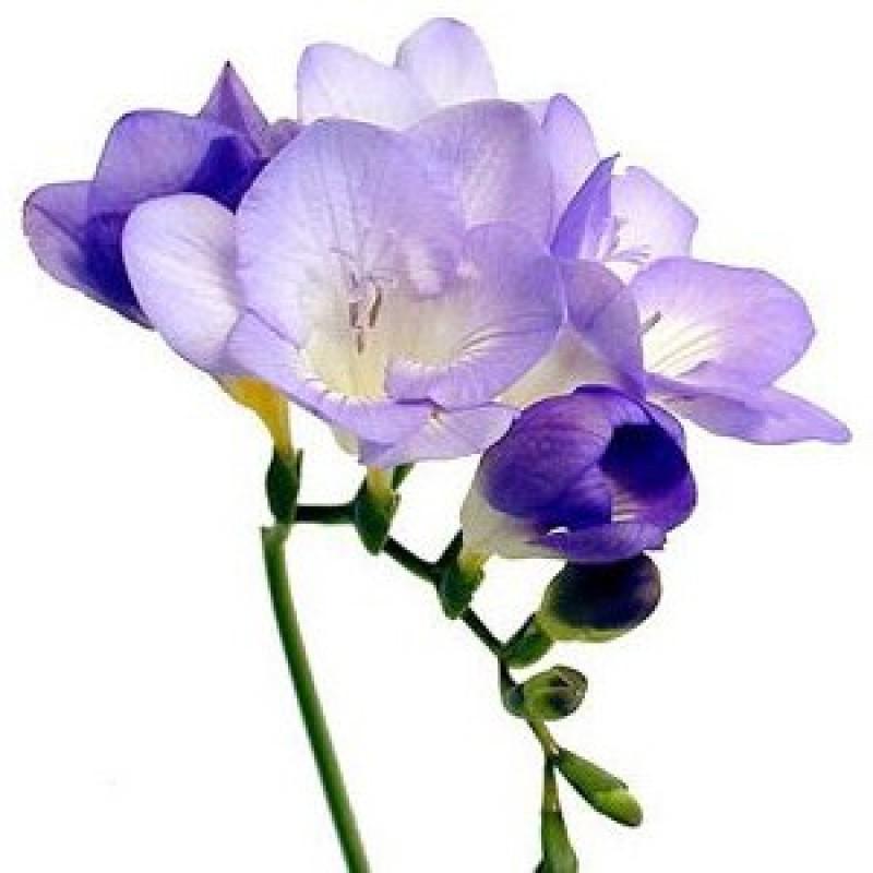 Фиолетовые фрезии поштучно от 29 штук