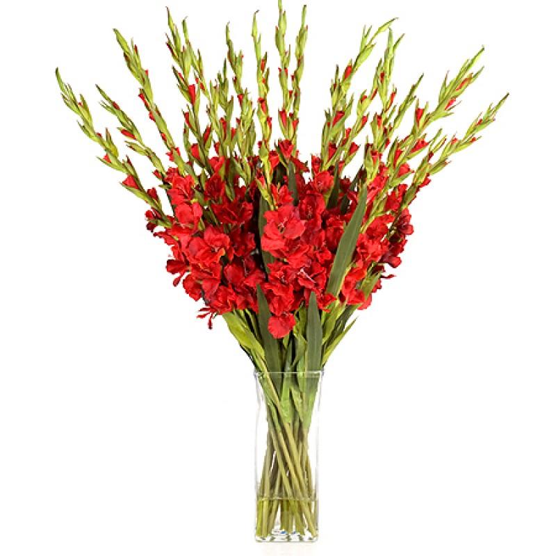 25 красных гладиолусов