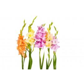 Гладиолусы поштучно от 9 штук (цвет на выбор)
