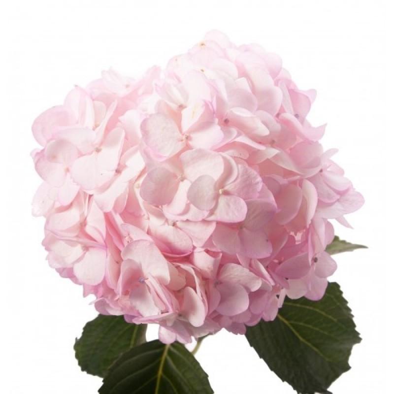 Розовая гортензия поштучно от 5 штук