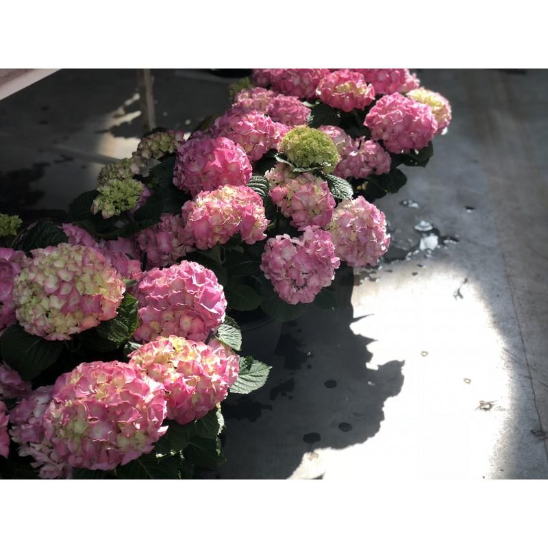 Розовая Гортензия в горшке