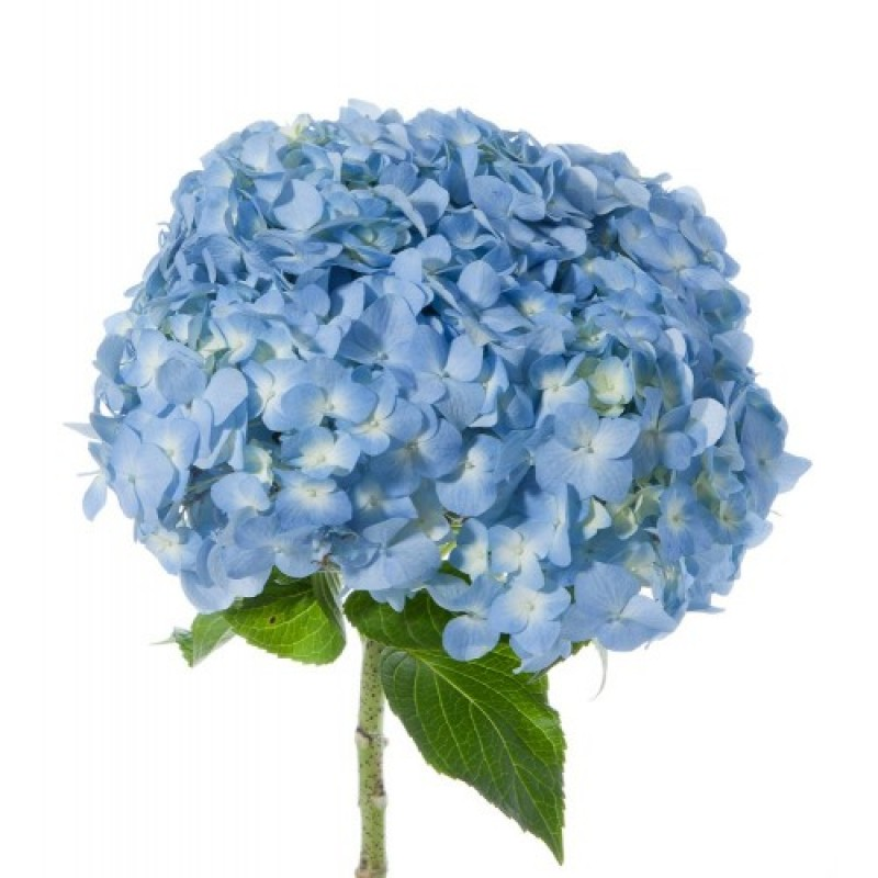 Голубая гортензия поштучно от 5 штук