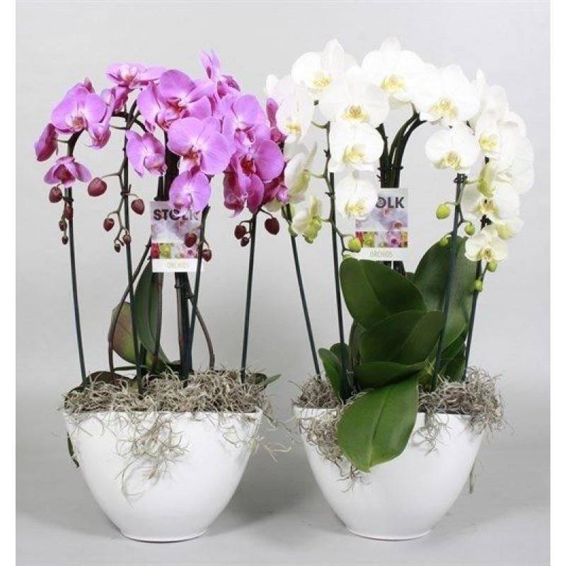 Орхидея Фаленопсис в Кашпо