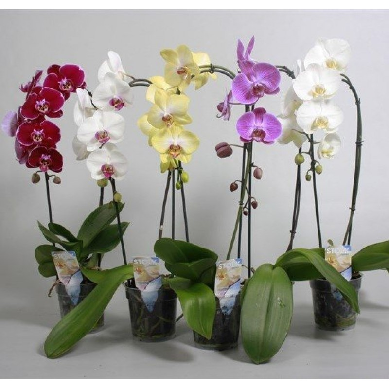 Орхидея Фаленопсис 1 ветка