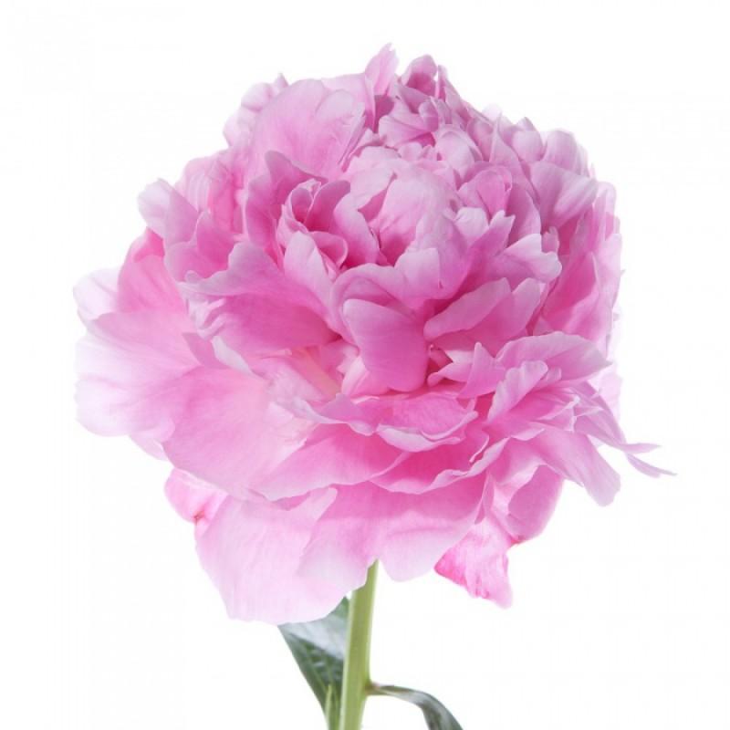 Розовые пионы Сара Бернар поштучно от 9 штук