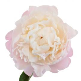 Розовые пионы сорта Гардения поштучно от 9 штук