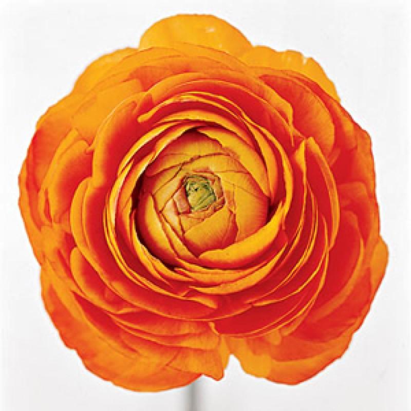 Оранжевые ранункулюсы поштучно от 19 штук