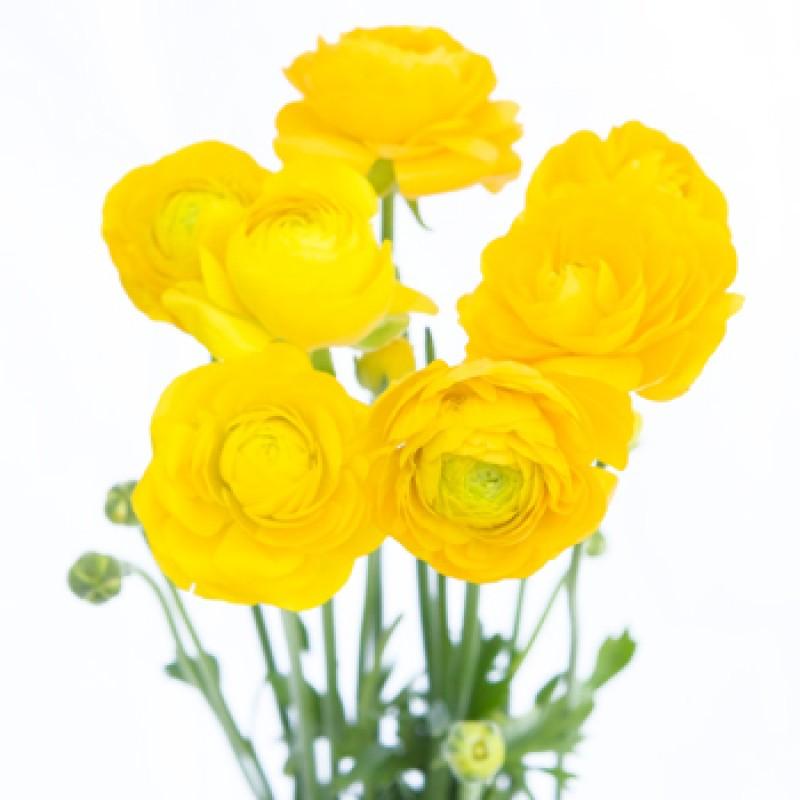Желтые ранункулюсы поштучно от 9 штук