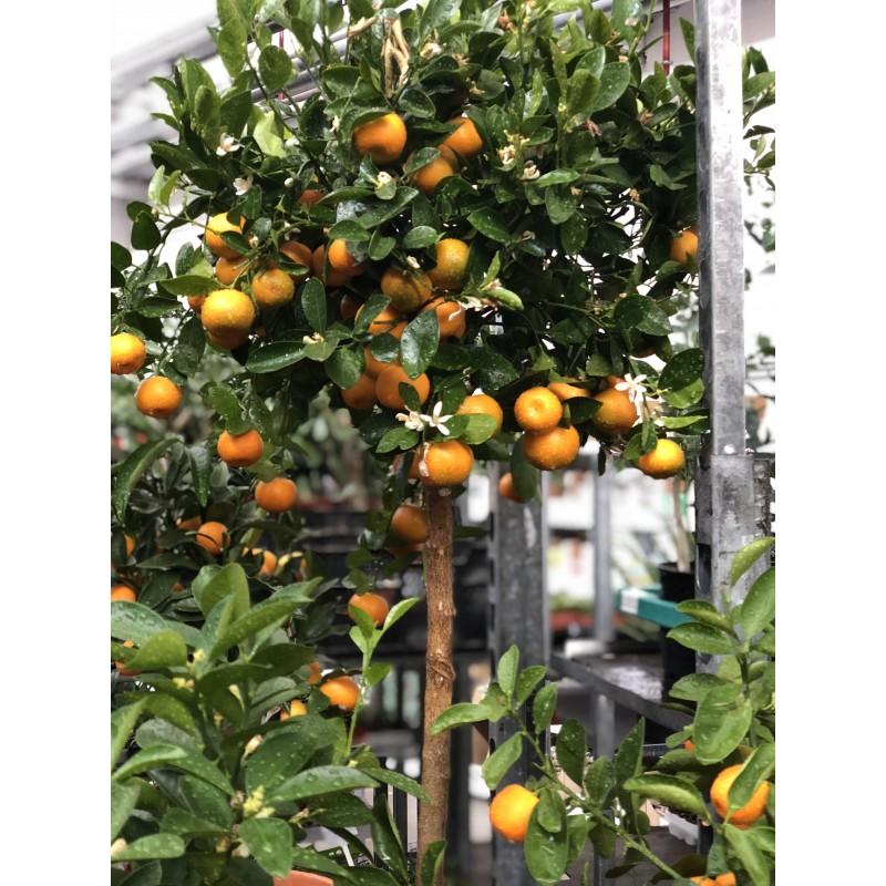 Мандариновое дерево высота 100 см