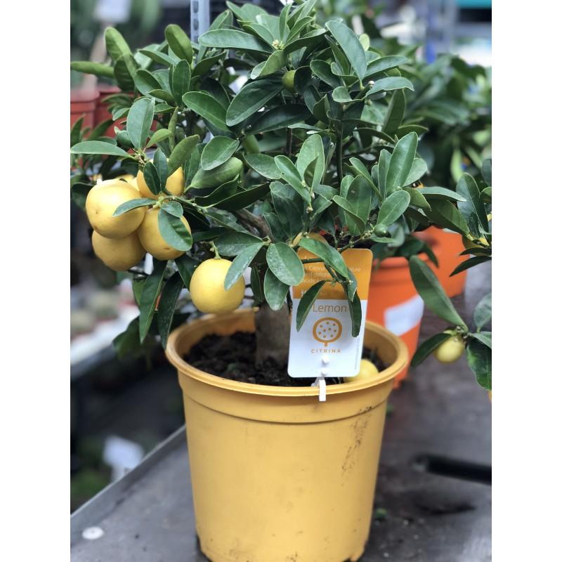 Лимон в горшке 40 см.