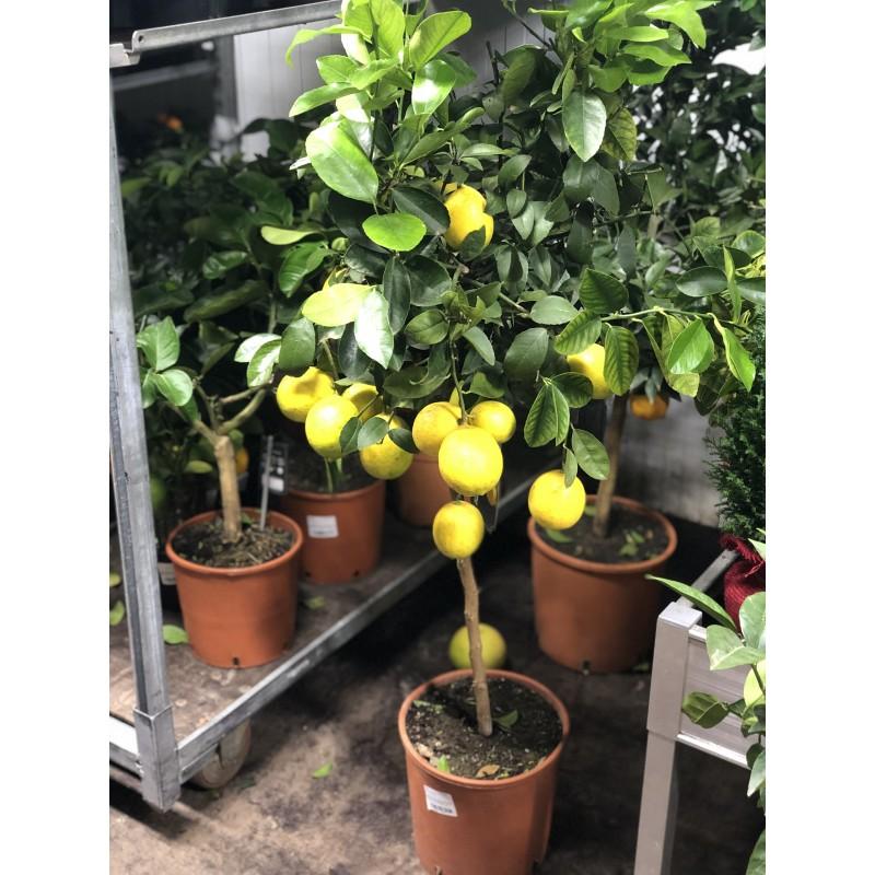 Лимонное дерево 120 см.