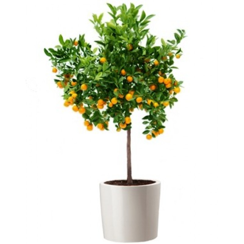 Мандариновое дерево, высота 70-80 см.