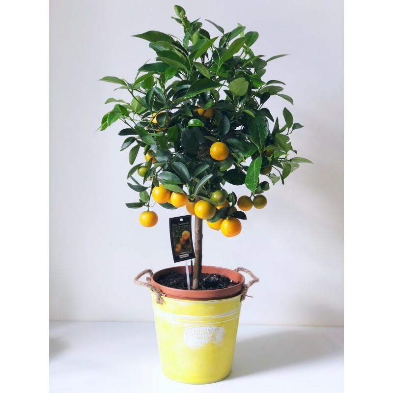 Мандариновое дерево в ведре