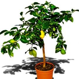 Лимонное дерево, высота 70-80см.