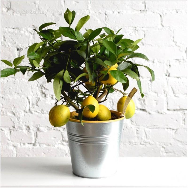 Лимон в ведерке