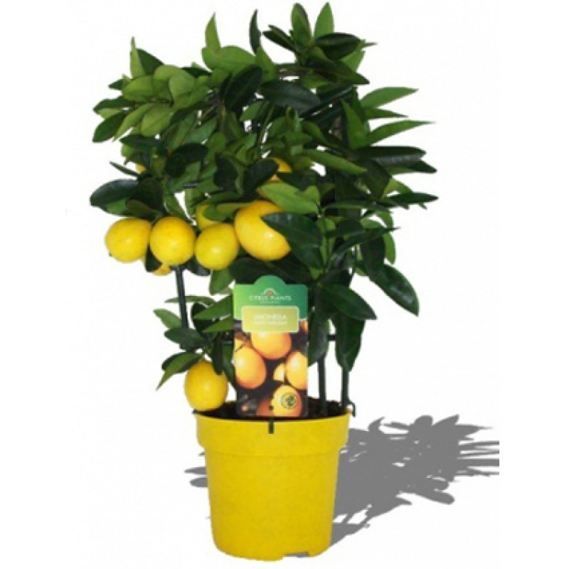 Лимон в горшке, высота 40 см.