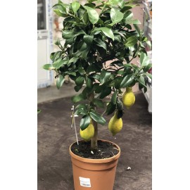 Лимонное дерево 75-80 см.