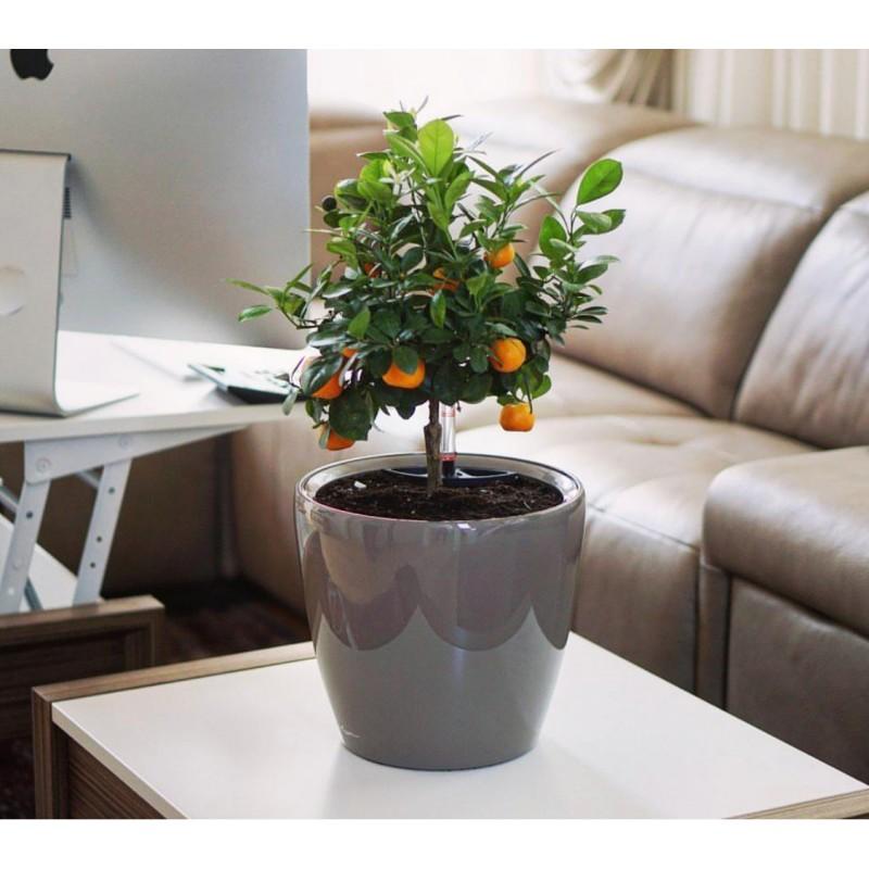 Мандариновое дерево в кашпо с автополивом