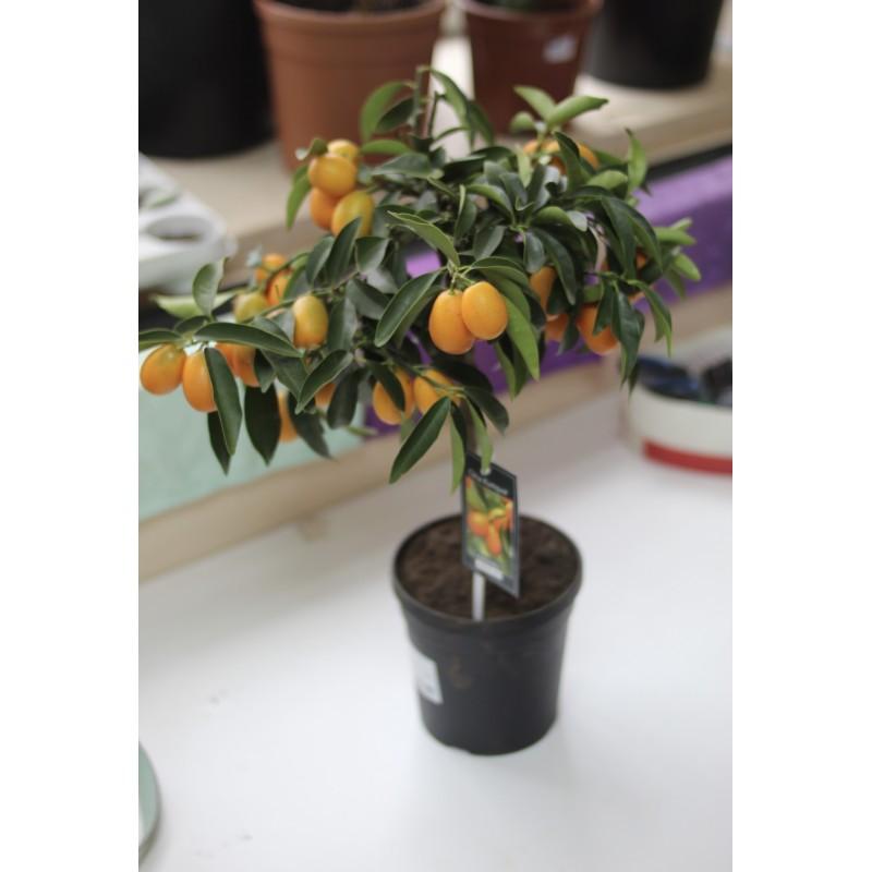 Кумкват 55 см с плодами