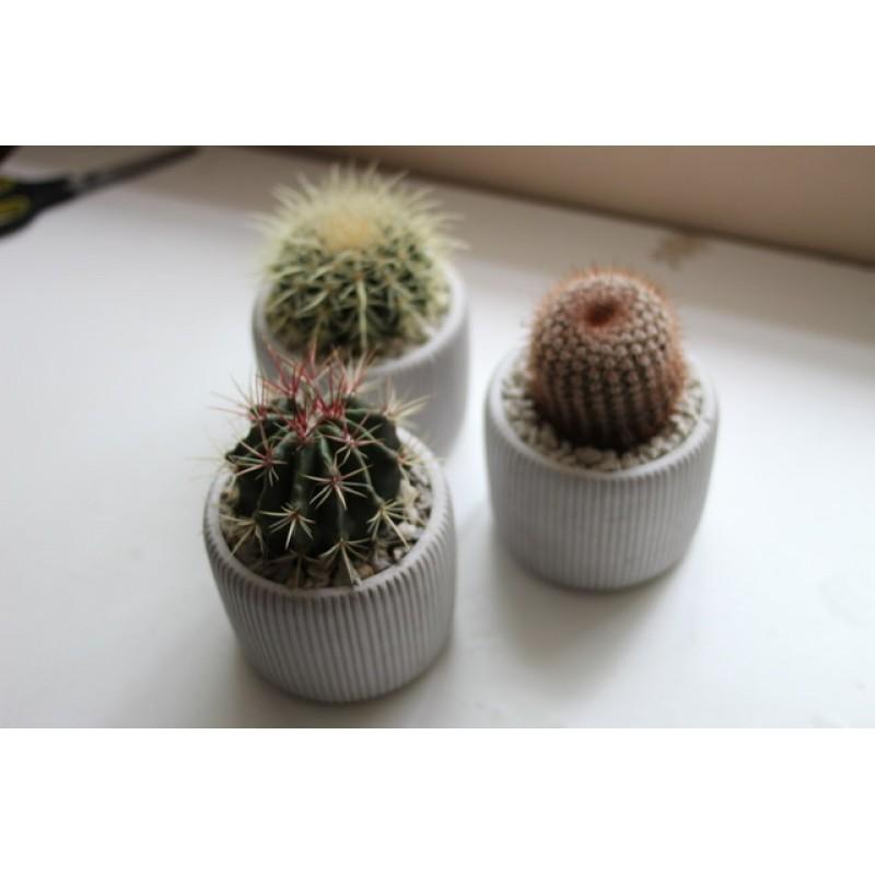 Трио кругляшей